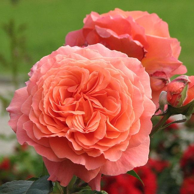Троянда Бельведер
