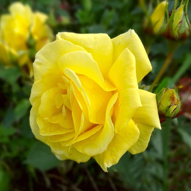 Троянда Фрезія