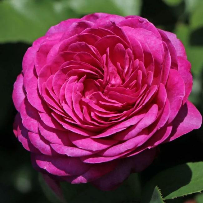 Троянда Хайді Клум