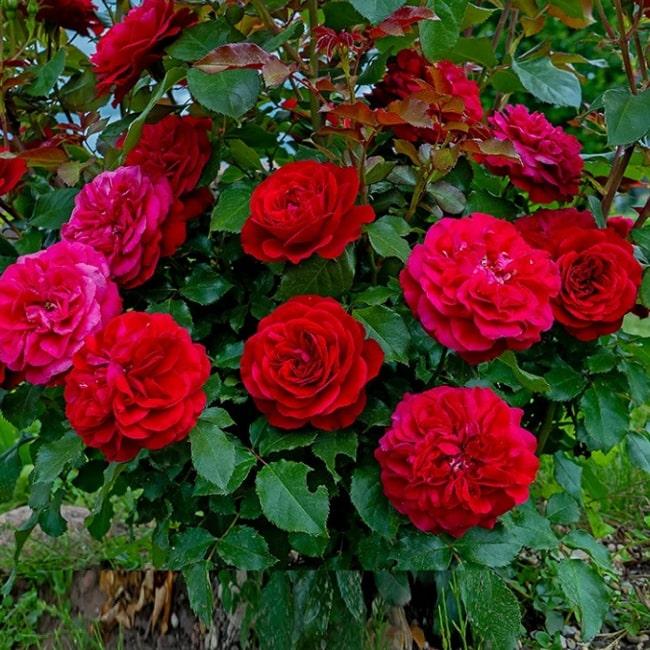 Троянда Мона Ліза