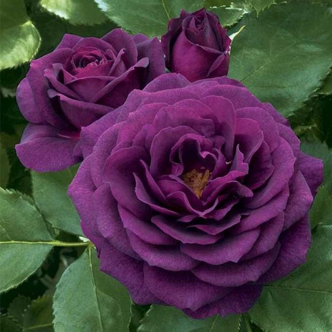 Троянда Перпл Еден