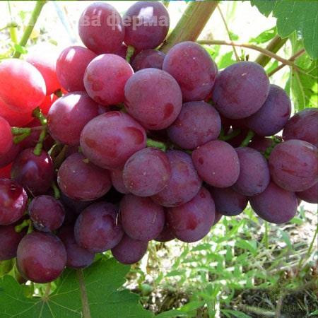 Виноград Подарок  Нєсвєтая