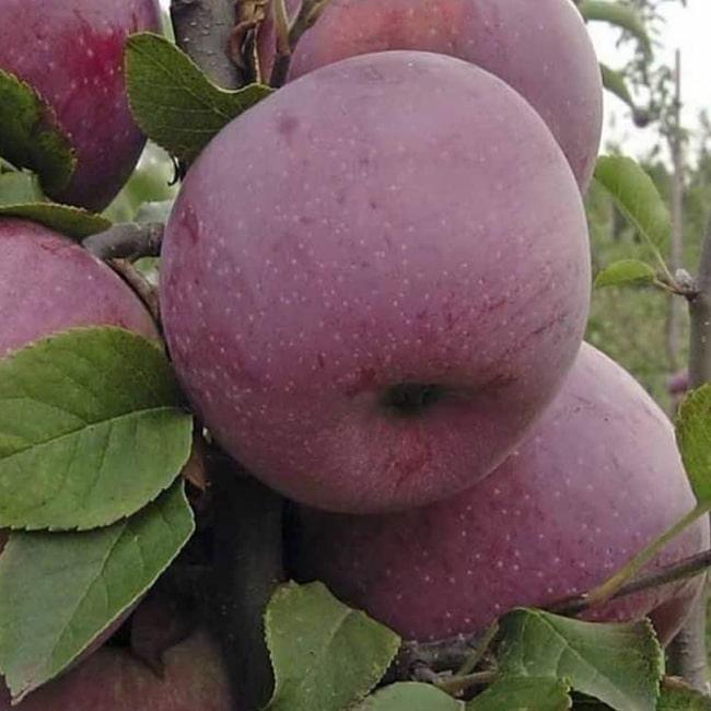 Яблуня Ліберті